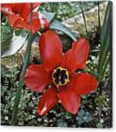 Fosteriana Tulips Red Emperors Acrylic Print