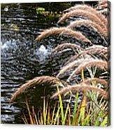 Fountain Grass Acrylic Print