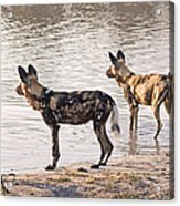 Four Alert African Wild Dogs Acrylic Print