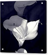 Four Calla Lilies In Shade Acrylic Print