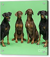 Four Dobermans Sitting Down Acrylic Print