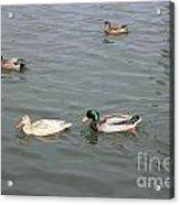 Four Ducks Acrylic Print