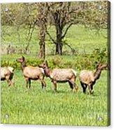 Four Elk Acrylic Print