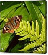 Four Eye Butterfly Acrylic Print