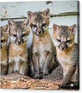 Four Fox Kits Acrylic Print