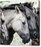 Four Konik Horses Acrylic Print