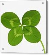 Four Leaved Clover For Good Luck Acrylic Print