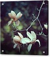 Four Magnolia Flower Acrylic Print