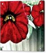 Four Petunias Hanging Acrylic Print