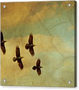 Four Ravens Flying Acrylic Print