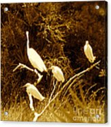 Four Resting Egrets Acrylic Print