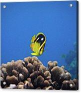 Four Spot Butterfly Acrylic Print