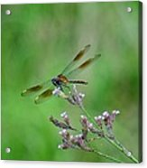 Four-spotted Pennant Acrylic Print