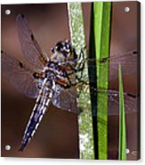 Four-spotted Skimmer Acrylic Print