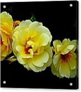 Four Stages Of Bloom Of A Yellow Rose Acrylic Print