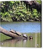 Four Yellow Bellied Turtles Acrylic Print