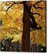 Four Yellow Trees  Acrylic Print
