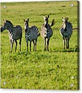 Four Zebras Acrylic Print
