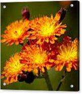 Fox-and-cubs Acrylic Print