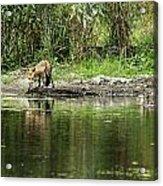 Fox At Water Hole Acrylic Print