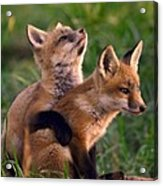 Fox Cub Buddies Acrylic Print by William Jobes