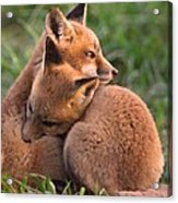 Fox Cubs Cuddle Acrylic Print
