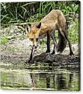Fox Drink Acrylic Print