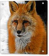 Fox Gaze Acrylic Print