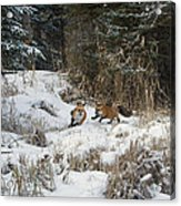 Fox Hollow Acrylic Print