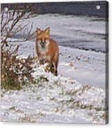 Fox In My Yard Acrylic Print