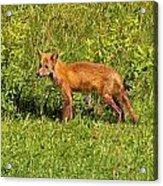 Fox In The Park Acrylic Print