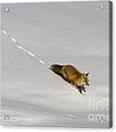 Fox In The Snow-signed Acrylic Print