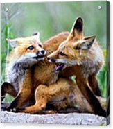 Fox Kits At Play - An Exercise In Dominance Acrylic Print by Merle Ann Loman