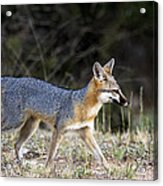 Fox On The Move Acrylic Print