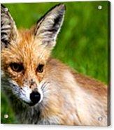 Fox Pup Acrylic Print by Fabrizio Troiani