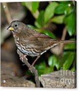 Fox Sparrow Acrylic Print
