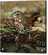 Fox Sparrow Drinking Acrylic Print