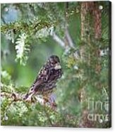 Fox Sparrow Juvenile Acrylic Print by Chris Heitstuman