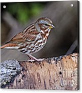 Fox Sparrow Pictures 16 Acrylic Print