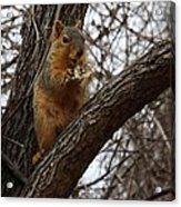 Fox Squirrel 1 Acrylic Print