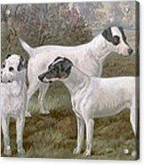 Fox Terriers Acrylic Print