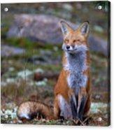Fox Zen - Algonquin Park Acrylic Print