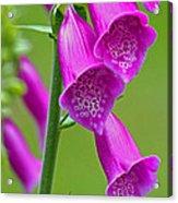 Foxglove Digitalis Purpurea Acrylic Print
