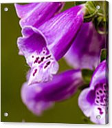 Foxglove Flower Acrylic Print