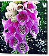 Foxglove Acrylic Print by Sarah Loft