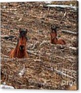 Foxhole Mustangs Acrylic Print