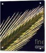 Foxtail Barley Acrylic Print
