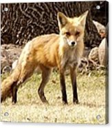 Foxy Momma Acrylic Print