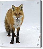 Foxy.. Acrylic Print