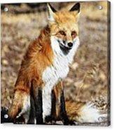 Foxy Acrylic Print by Shane Bechler